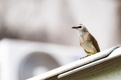 Yellow-vented Bulbul sitting on house roof Stock Photo