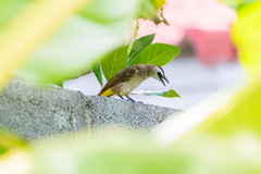 Yellow-vented Bulbul Stock Photos