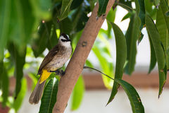 Yellow-vented Bulbul Royalty Free Stock Images