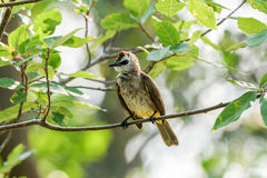 Yellow-vented Bulbul on a tree branch Royalty Free Stock Images