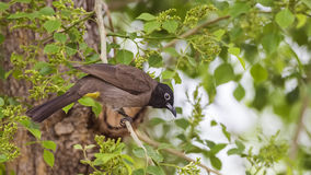 Yellow-vented Bulbul on Tree. Yellow-vented bulbul Pycnonotus xanthopygos is perching on tree branch Royalty Free Stock Photos