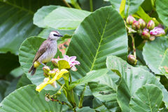 Yellow-vented bulbul. The yellow vented bulbul was standing on a wild yellow follow Royalty Free Stock Photo