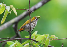 Yellow vented flowerpecker Royalty Free Stock Photos