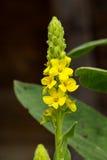 Yellow Verbascum Stock Photo