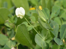 Yellow Vetchling Royalty Free Stock Photo