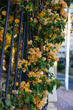 Yellow vine flowers with green leaves on wrought iron railings Stock Photography