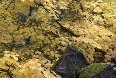 Yellow Vine Maples and Mossy Stones Royalty Free Stock Images