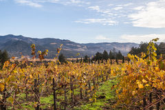 Yellow vines. Colorful landscapes of vines during autumn month in the wine county, Napa California Stock Photo