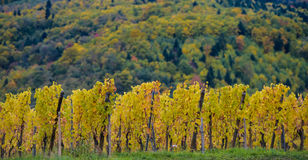 The yellow vines in the fall, Alsace, France Royalty Free Stock Image