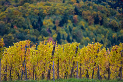 The yellow vines in the fall, Alsace, France Stock Photos