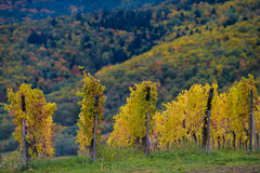 The yellow vines in the fall, Alsace, France Royalty Free Stock Photography