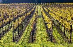 Yellow Vines Fall Vineyards Napa California. Yellow Leaves Vines Fall Green Grass Napa Vineyards California stock image