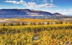 Free Yellow Vines Grapes Fall Vineyards Red Mountain Benton City Washington Royalty Free Stock Photo - 62424785