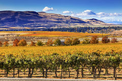 Yellow Vines Grapes Fall Vineyards Red Mountain Benton City Washington Stock Image