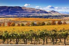 Yellow Vines Grapes Fall Vineyards Red Mountain Benton City Washington Stock Image