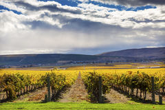 Yellow Vines Grapes Fall Vineyards Red Mountain Benton City Washington Royalty Free Stock Image