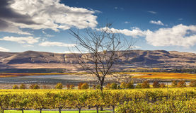 Yellow Vines Grapes Fall Vineyards Red Mountain Benton City Washington Stock Photo