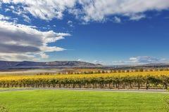 Yellow Vines Grapes Fall Vineyards Red Mountain Benton City Washington Stock Photo