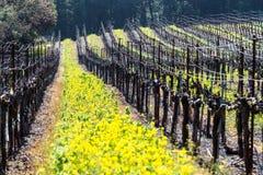 Yellow Vineyard Mustard. Yellow mustard plants brighten an otherwise dull winter vineyard. Napa County, California, USA stock photo