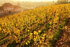 Yellow vineyard Royalty Free Stock Photos