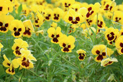 Yellow viola Royalty Free Stock Image