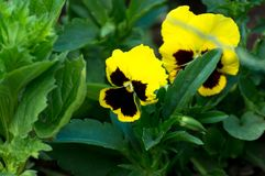 Yellow viola flower. S in the sunny garden Royalty Free Stock Image