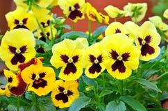 Yellow viola flowers Stock Photography