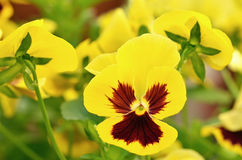 Yellow viola flowers in garden Royalty Free Stock Photo