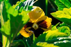 Yellow viola flower. S in the sunny garden Stock Photo