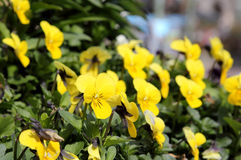 Yellow viola Royalty Free Stock Photography