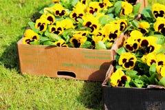 Yellow viola. At spring in box Royalty Free Stock Photos
