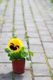 Yellow viola. At spring Stock Image