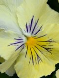 Yellow viola tricolor extreme closeup Stock Photo