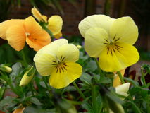 Yellow Violas. Two yellow violas with an orange one in the background Stock Image