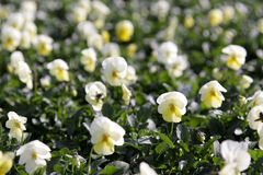 Yellow Violas. Lots of yellow violas at spring garden nursery Royalty Free Stock Photo
