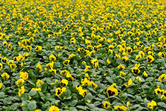 Yellow violet field Stock Image