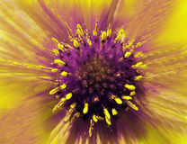 Yellow-violet flower on a blurred background. Closeup. Furry violet-yellow center. Pistils sticking out like needles.  For design. Royalty Free Stock Images