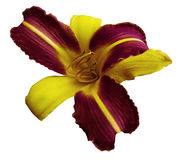 Yellow-violet flower lily on white isolated background with clipping path no shadows. Closeup. Stock Photography