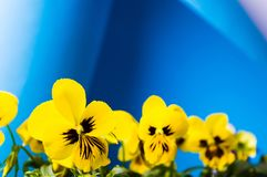 Yellow flowers against blue background. Yellow violet flowers against blue background Stock Images