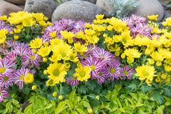 Yellow and violet flowers Royalty Free Stock Photos