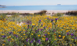 Yellow and violet flowers at Mediterranean beach. Spain Royalty Free Stock Images