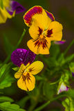 Yellow-violet flowers Stock Photography