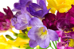 Yellow and violet fresia Royalty Free Stock Image