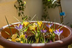 Yellow and violet krokus on the balcony stock photo