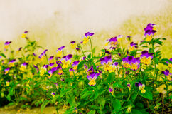 Yellow violet pansies Royalty Free Stock Photography