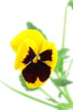 Yellow-violet pansy flower Stock Photography