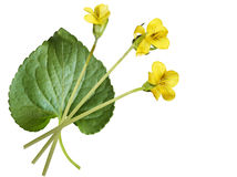 Yellow violet plant Royalty Free Stock Photography