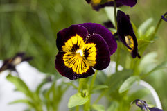 Yellow violet viola Royalty Free Stock Images