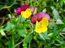 Yellow-violet viola tricolor Royalty Free Stock Photography