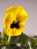 Yellow violet Stock Photography